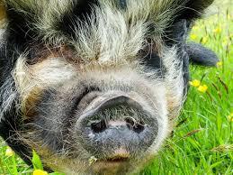 pet pigs saga
