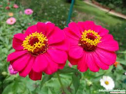 Zinnia Flower Zinnia Flower Pictures Pink Zinnia Flower Ms T Pinterest