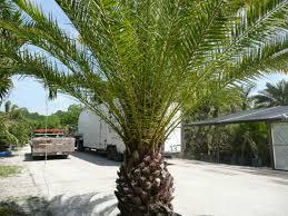 sylvester palm tree price palm trees
