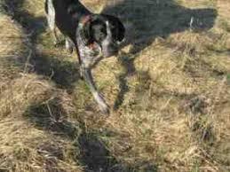bluetick coonhound genetics jane the bluetick coonhound life with jane