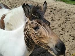 zebroid strange animals
