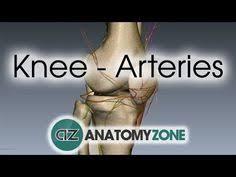 Heart Anatomy Youtube Leg Arteries 3d Anatomy Tutorial Youtube A U0026p Cardiac