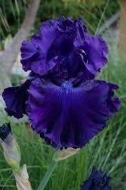 Iris by 385 Best Irises Images On Pinterest Iris Flowers Flowers Garden