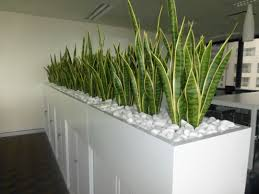 164 best sanseveria images on pinterest plants indoor plants