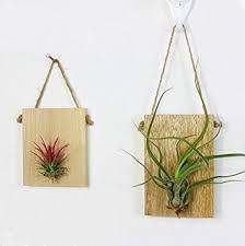 hanging air plant amazon com zondam wall hanging air plant holder tillandsia planter