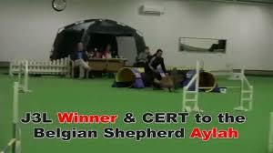 belgian sheepdog agility winner u0026 cert to belgian tervuren shepherd aylah agility jump 3