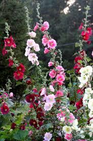 Hollyhock Flowers Best 25 Growing Hollyhocks Ideas On Pinterest Hollyhock