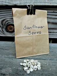 harvesting sunflower seeds for your chickens fresh eggs daily