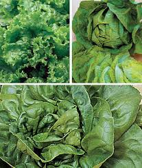 summer long collection lettuce seeds and plants vegetable