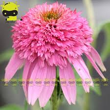 echinacea flower different colors coneflower flower echinacea seed for your choice