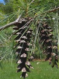 white pine trees eastern white pine pinus strobus