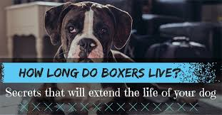 boxer dog mini how long do boxers live secrets that will extend the life of your dog