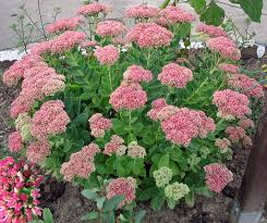 what is a non native plant autumn joy sedum sedums are referred to by the common name
