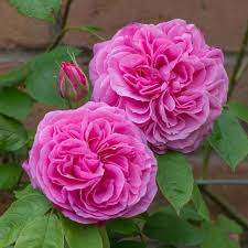 Picture Of Roses Flowers - best 25 english flowers ideas on pinterest english gardens