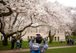 photos they u0027re here uw cherry blossoms in full bloom seattle