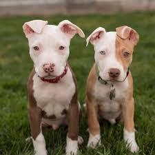 american pitbull terrier vs amstaff best 10 pit bull puppies ideas on pinterest blue pit puppies