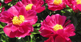 peonies flower growing peonies how to plant and grow the peony flower