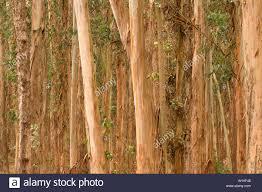 eucalyptus trees in the presidio san francisco california stock