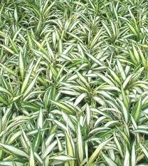 dracaena reflexa the song of india thai garden design