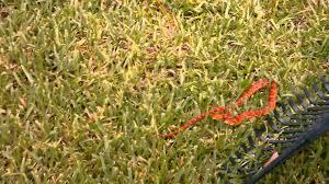 red rat snake in florida backyard part 2 youtube