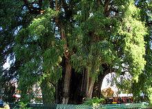 list of superlative trees
