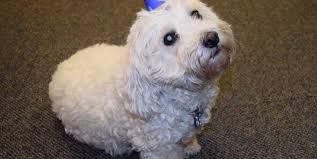 bichon frise therapy dog happy birthday charlie express yourself
