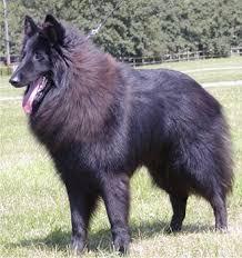 belgian tervuren 101 belgian sheepdog