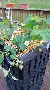 Strawberry Garden Beds Build An Elevated Garden Bed With Milk Crates Container Garden Club