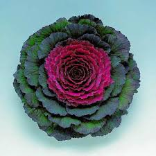 ornamental kale pigeon purple f1 harris seeds