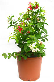 buy madhumalti flower plant online at best prices in india