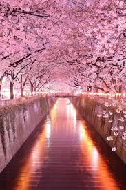 cherry blossom pics wonderful pink cherry blossom wallpaper iphone 2018 iphone