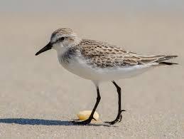 Nj Backyard Birds by Semipalmated Sandpiper Identification All About Birds Cornell
