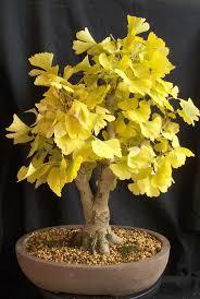wheel shaped flower buds of stenocarpus sinuatus queensland 1104 best unusual flowers and plants images on pinterest unusual