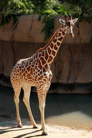 giraffe dallas zoohoo