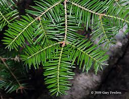 tree spotlight balsam fir abies balsamea