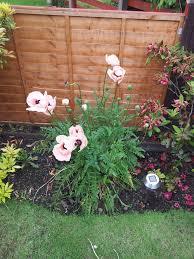 poppy problems my garden