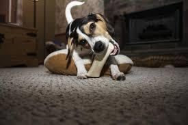 comment empecher mon chien de monter sur le canapé comment empêcher un chien de mordre 8 é