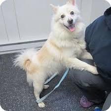 american eskimo dog adoption american eskimo dog papillon like and repin please american