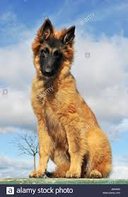 belgian shepherd victoria younger belgian stock photos u0026 younger belgian stock images alamy