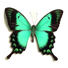 papilio lorquinianus albertisi framed butterflies and