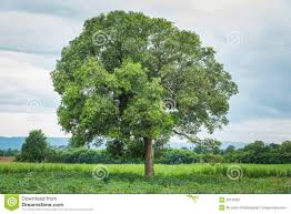 Mango Boom de boom de mango stock afbeelding afbeelding bestaande uit
