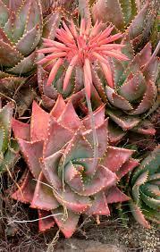 aloe mitriformis aloe cacti and gardens