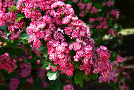 beautiful flowers cherry roses free stock photo public domain
