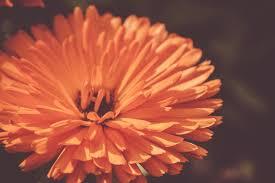 flower petals orange flower petals free stock photo by bjorgvin gudmundsson on