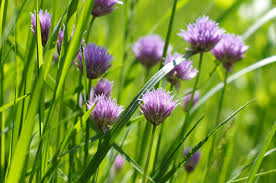 wild flowers in wild meadows purple wild flower clover on green meadow our great photos