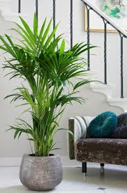 kentia palme plants interiors and living rooms - Palme Wohnzimmer