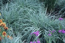 ornamental grass for shade gardening guide