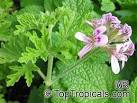 Pelargonium sp., Pelargonia, Geranium - TopTropicals.
