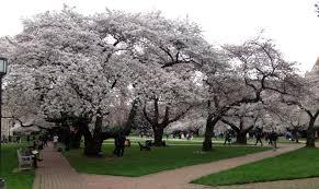 2015 uw cherry tree bloom by march 14 uw
