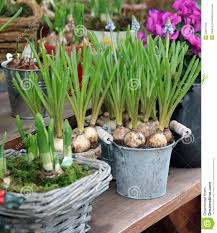 ornamental bulbs in to the pots stock photo image 29270104